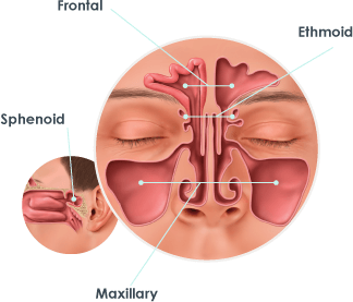 Diagram of the sinuses.